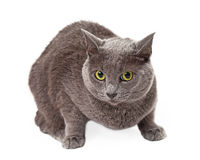 Green Eyed Grey Cat Crouching Royalty Free Stock Images