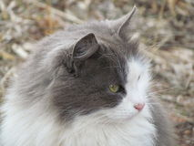 Green-eyed grey cat looks Royalty Free Stock Images