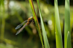 Green-eyed hawker Aeshna isoceles Stock Images