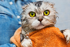 Green eyed just washed cat Stock Image