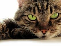 Green-eyed Katze Stockbild