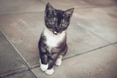 Green Eyed kitty Royalty Free Stock Image