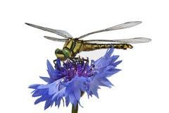Green-eyed Libelle auf dem Cornflower Lizenzfreie Stockfotos