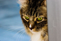 Green eyed mainecoon Royalty Free Stock Images