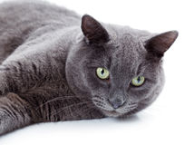 Green eyed Maltese cat also known as the British Blue. On a white background Royalty Free Stock Photo