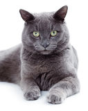 Green eyed Maltese cat also known as the British Blue. On a white background Royalty Free Stock Image