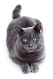 Green eyed Maltese cat also known as the British Blue. On a white background Stock Photography