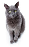 Green eyed Maltese cat also known as the British Blue. On a white background Stock Photos