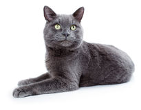 Green eyed Maltese cat also known as the British Blue. On a white background Stock Images
