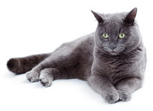Free Green Eyed Maltese Cat Also Known As The British Blue Royalty Free Stock Photo - 36985895