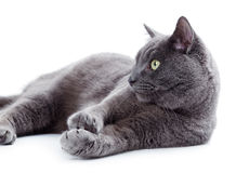 Free Green Eyed Maltese Cat Also Known As The British Blue Stock Photos - 36985943