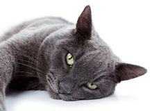 Free Green Eyed Maltese Cat Also Known As The British Blue Royalty Free Stock Photos - 36986188
