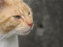A green eyed orange cat looking to the right Stock Images