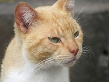 A green eyed orange cat with a pensive look Royalty Free Stock Photo