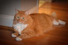 Green eyed orange tabby reclining Royalty Free Stock Photo