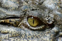 Green Eyed Reptile Stock Image