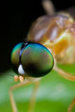Green eyed soldier fly Stock Photography