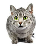 Green Eyed Spotted Cat Stock Photo