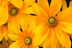 Green-eyed Susans (Rudbeckia) Royalty Free Stock Photography