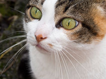 Green eyed tabby, calico pet cat face, closeup. Royalty Free Stock Photography