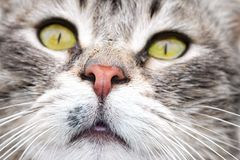 Green eyed tabby cat Stock Images