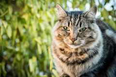 A green eyed tabby cat sits outside. Royalty Free Stock Photos