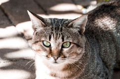 Green eyed tabby Royalty Free Stock Photo