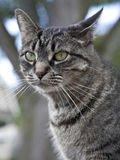 Green Eyed Tiger Cat Portrait. A beautiful tiger cat with an intense gaze royalty free stock photo