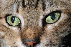 Green eyes. The green eyes of my beloved cat Alex Royalty Free Stock Images