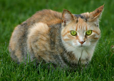 Green Eyes. Cats Stare...he was mad, I made the birds fly away Royalty Free Stock Image
