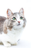 Green eyes. Close-up portrait of brown-grey cat on white with big green eyes Royalty Free Stock Images