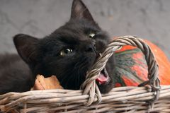 Green eyes black cat and orange pumpkins on gray cement background with autumn yellow dry fallen leaves. Stock Photos