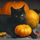 Green eyes black cat and orange pumpkins on gray cement background with autumn yellow dry fallen leaves. Halloween celebration concept image royalty free stock images