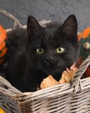 Green eyes black cat and orange pumpkins on gray cement background with autumn yellow dry fallen leaves. Stock Images
