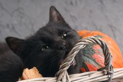 Green eyes black cat and orange pumpkins on gray cement background with autumn yellow dry fallen leaves. Royalty Free Stock Photos