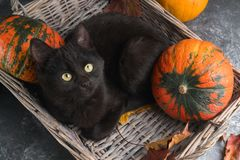 Green eyes black cat and orange pumpkins on gray cement background with autumn yellow dry fallen leaves. Royalty Free Stock Photo