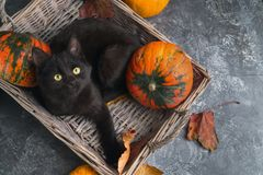 Green eyes black cat and orange pumpkins on gray cement background with autumn yellow dry fallen leaves. stock image