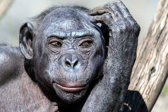 Green eyes bonobo portrait female monkey Stock Images