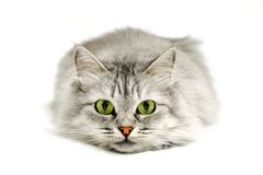 Green eyes cat. Close-up portrait of a cat before jump looking into the camera Royalty Free Stock Photo