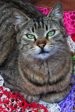 Green eyes cat. Cat resting on wool steers and facing photographer Royalty Free Stock Image