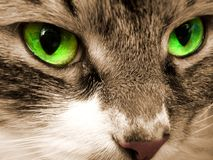 Green eyes of a cat. Close up. The gray cat looks green eyes Royalty Free Stock Images