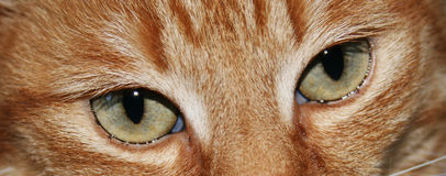 Green eyes of cat Royalty Free Stock Photo