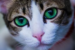 Green eyes cat looking for something. Green eyes cat looking out Royalty Free Stock Photo