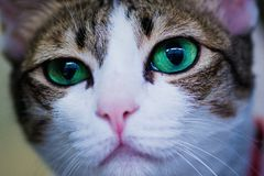 Green eyes cat looking for something. Green eyes cat waiting for someone Royalty Free Stock Image
