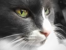 Green eyes 1. Cat profile monochrome Royalty Free Stock Photos