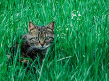 Green eyes cat undercover in field. Green eyes in green field, sweet cat undercover in grass Stock Photography