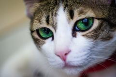 Green eyes cat looking for something. Green eyes cat waiting for her mom Stock Photography