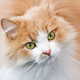 Green eyes and red cat Royalty Free Stock Images