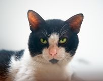 Green Eyes Tuxedo Manx Cat Looking Sternly and Attentively Forward. To Camera royalty free stock image
