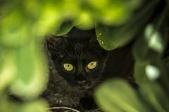 Green eyes among the vegetation. Black cat among the vegetation. Feline look. Look in the dark Royalty Free Stock Image